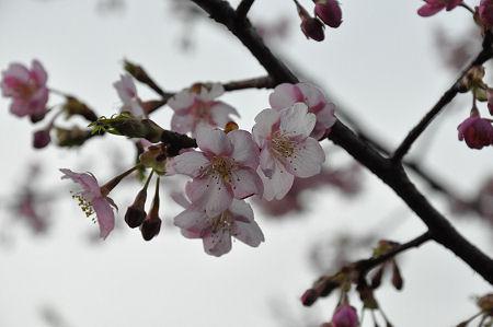 品濃一里塚公園の桜