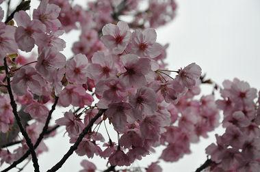 滝の川の桜