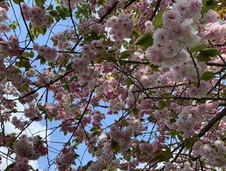 まだ、桜の季節。