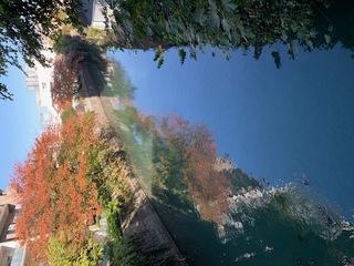 帷子川、桜の紅葉